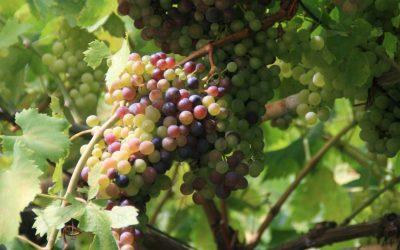 Inside the Vine: Grand Noir