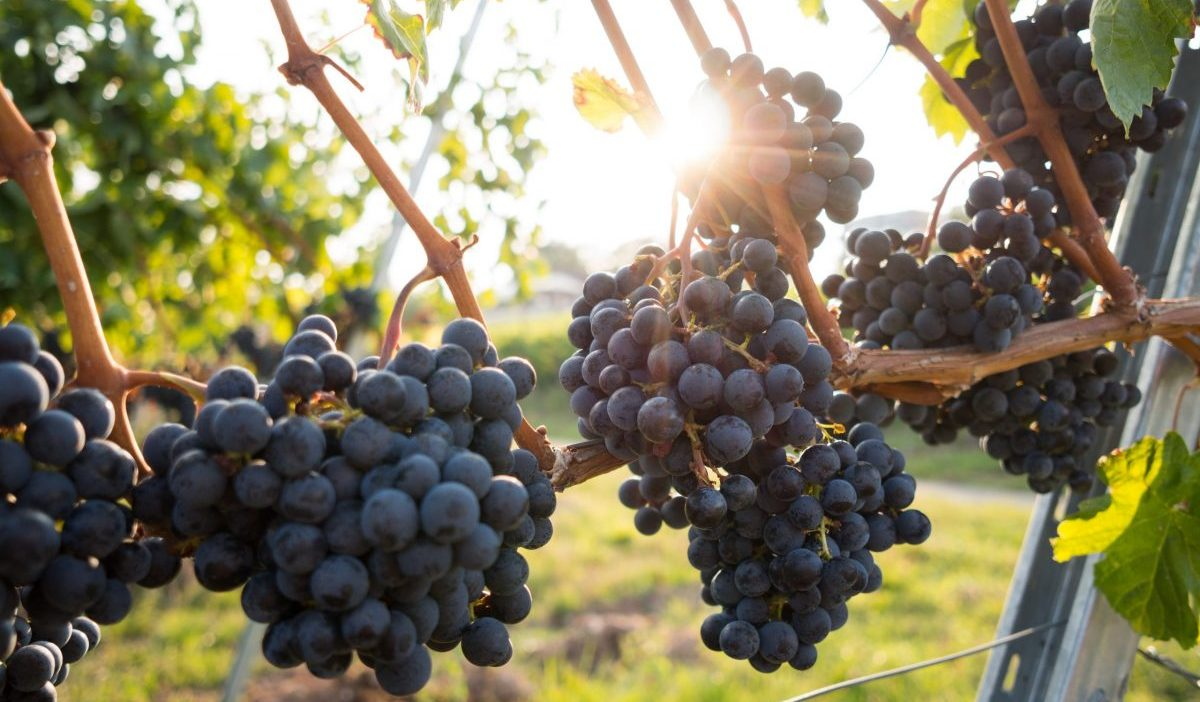 Grapes are an important part of the art of making wine - SECCO Wine Club