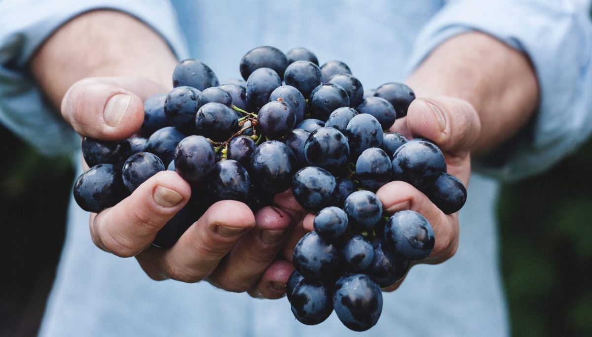 A man holding wine grapes in his hands - SECCO Wine Club