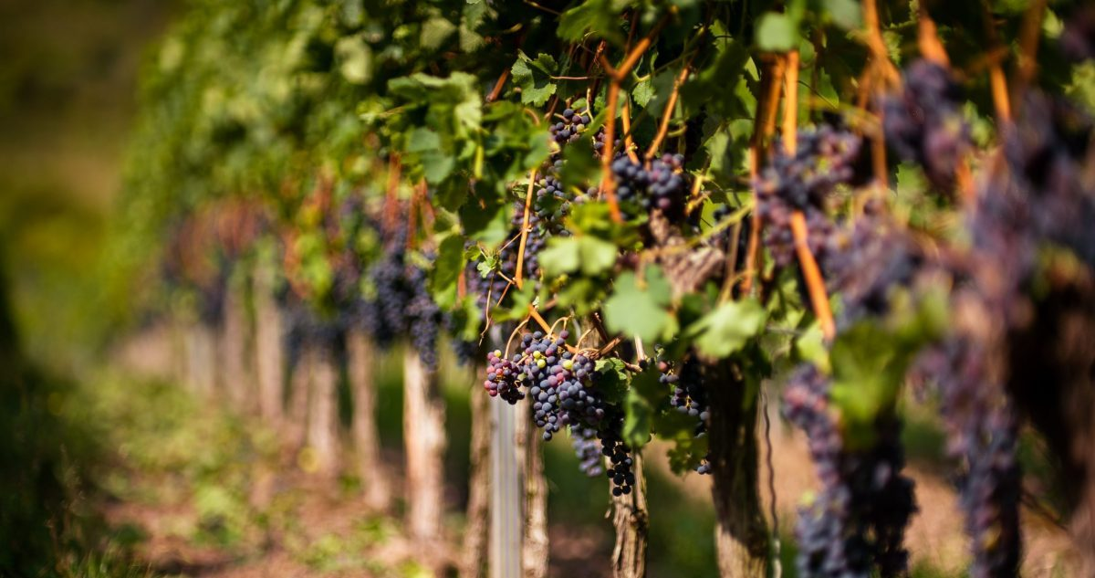 Grape clusters hanging from vines - SECCO Wine Club
