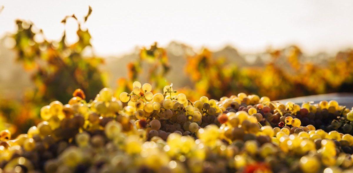 White grapes in a vineyard - SECCO Wine Club